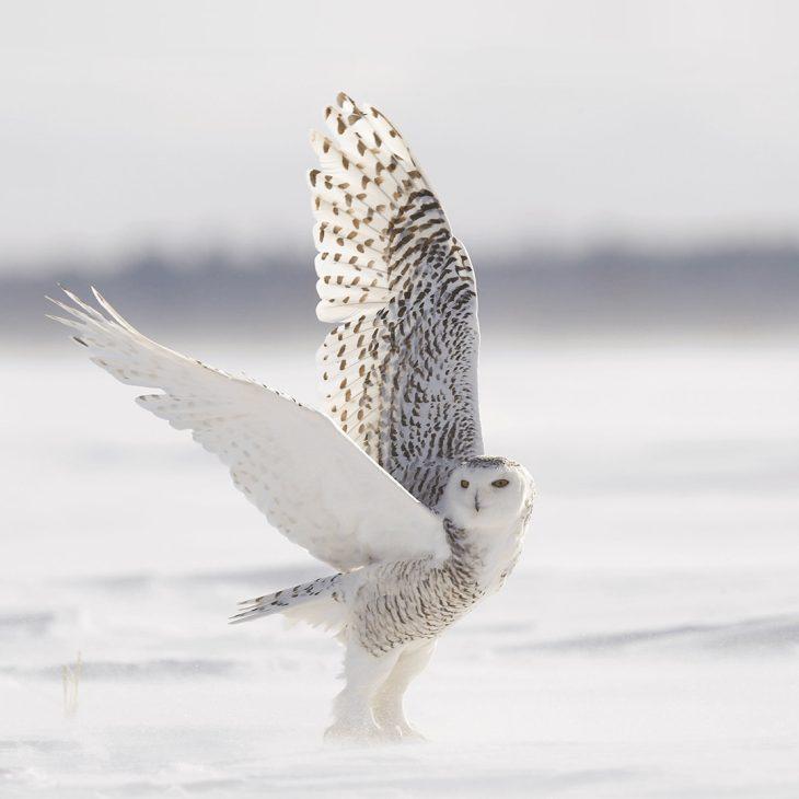 Une chouette blanche prenant son envol dans un paysage enneigé