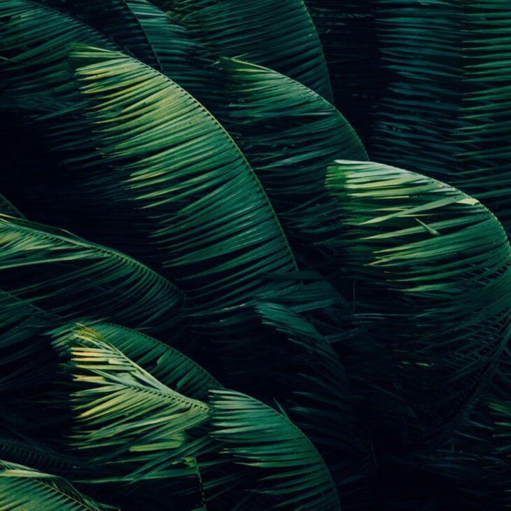 Feuilles de palmiers agités par le vent