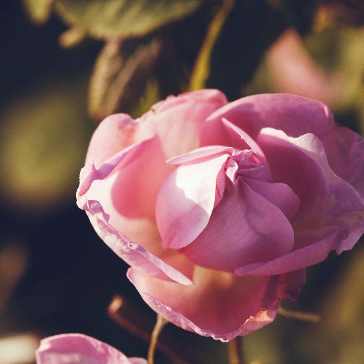Rose-grasse 2